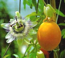 passionflower seeds