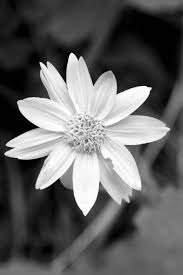 black and white flower photographs