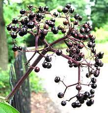 elderberry bushes