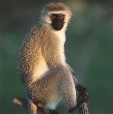 monkeys of africa