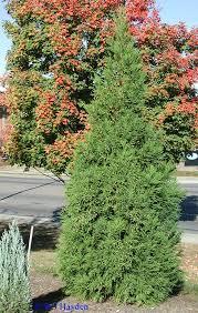 cryptomeria tree