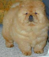 chow puppy for sale