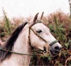 horse hackamores