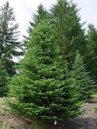 chinese fir tree