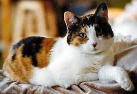 calico cat breeds