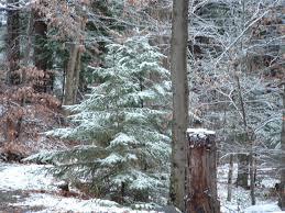 hemlock trees pictures