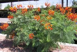 mexican bird of paradise plants