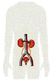 kidney location in the body