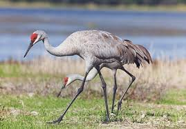 crane birds pictures