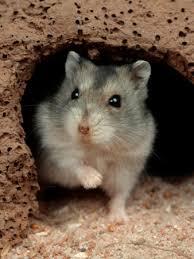 dwarf hamster accessories