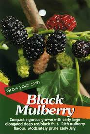 mulberry black