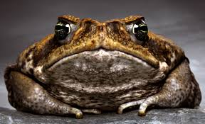 big frog picture