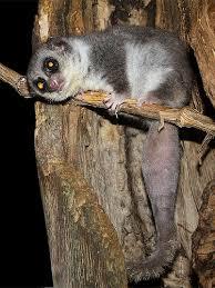 fat tailed dwarf lemur
