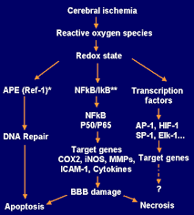 cox2 pathway