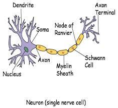 human body nerve