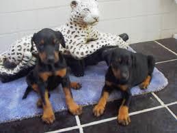 dobermans dogs for sale