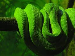 green snake wallpaper