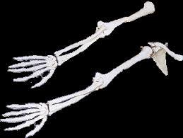 anatomy skeletons