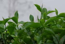 camellia sinensis leaf