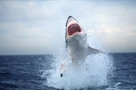 breaching shark