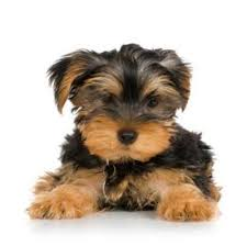 mini yorkie terrier