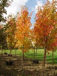 columnar maple trees