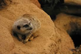 pet meerkat
