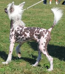 chinese crested dog pictures