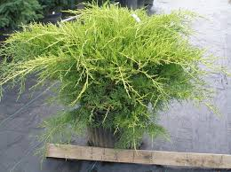 juniper evergreens