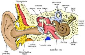 parts of the ears