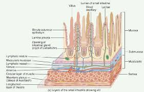 intestinal mucosal