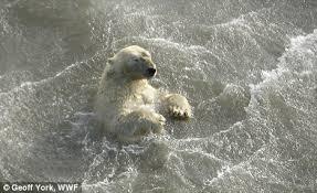 polar bears drowning