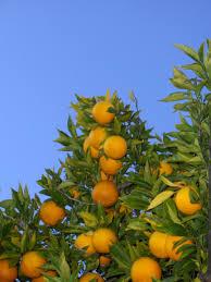 picture of orange tree