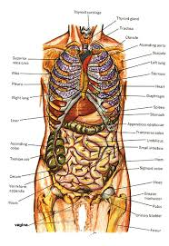 human body diagram organs