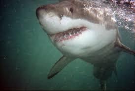 gansbaai shark