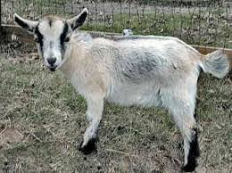 pygmy goat pictures