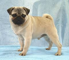 pictures of pugs dogs