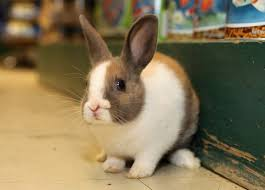 pet dwarf rabbits