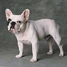 boston terrier bulldogs
