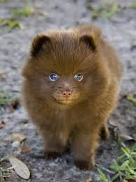 brown pomeranians