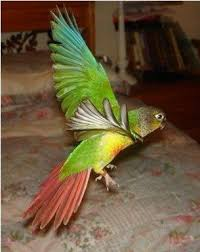 green cheek conure pictures