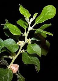 ashwagandha leaf