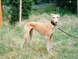 saluki greyhound cross