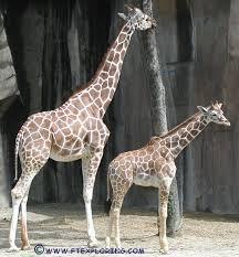 giraffes at the zoo