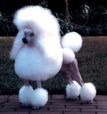 continental poodle cut
