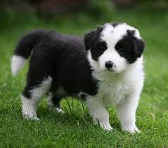 border collie puppies rescue