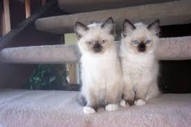 blue point ragdoll kittens