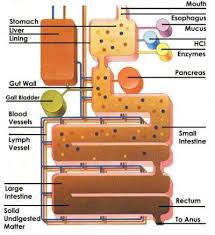 digestion proteins