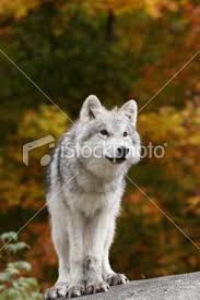 arctic wolf cubs