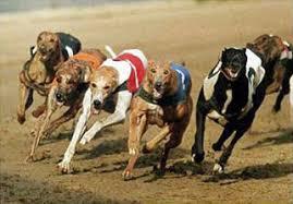 greyhound races